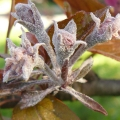 pepelnica jabuke podosphaera leucotricha