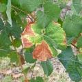 pepelnica vinove loze uncinula necator