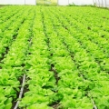 fertirigacija, navodnjavanje vodotopivim gnojivom