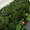 folija za niske tunele uzgoj jagoda