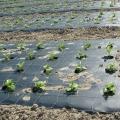 Mulch folija (folija za prekrivanje tla)