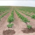 navodnjavanje krumpira