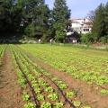 navodnjavanje salate