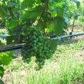 navodnjavanje vinograda kap po kap