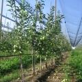 navodnjavanje jabuka voca galerija slika pseno