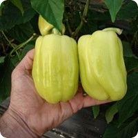 syngenta-idil-f1-paprika
