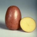 sjeme-krumpir-bella-rosa