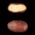 sjeme-krumpir-condor