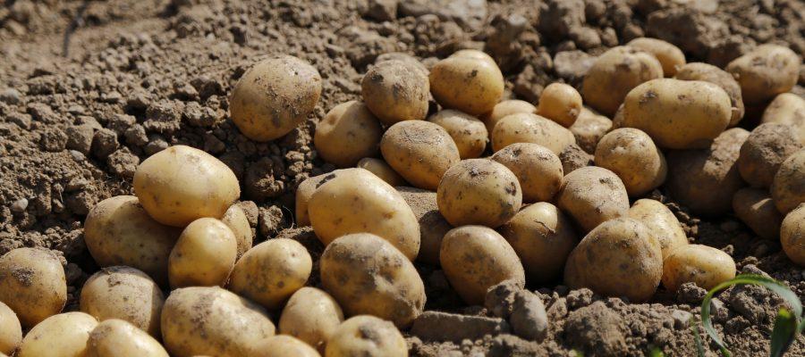 Stigle prve količine sjemenskog krumpira!
